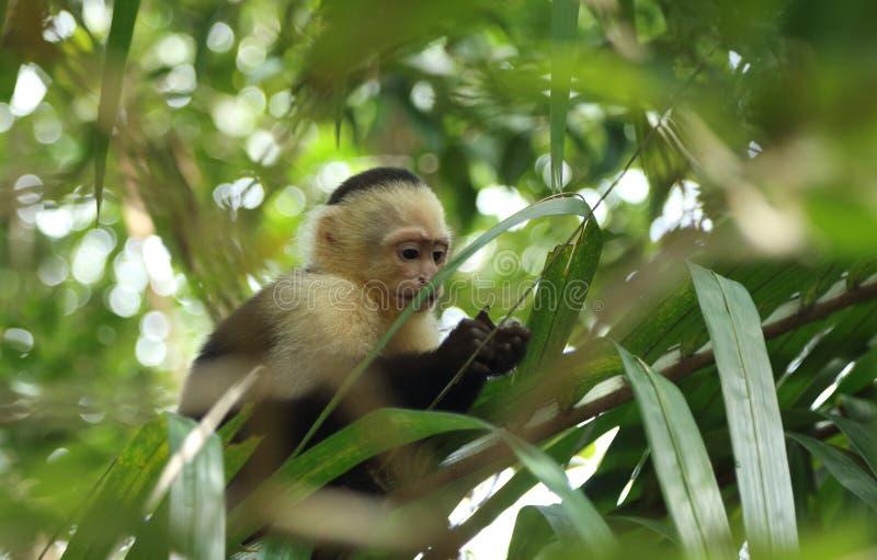 Babykapuzineraffe, die im Baum, Costa Rica isst stockbild