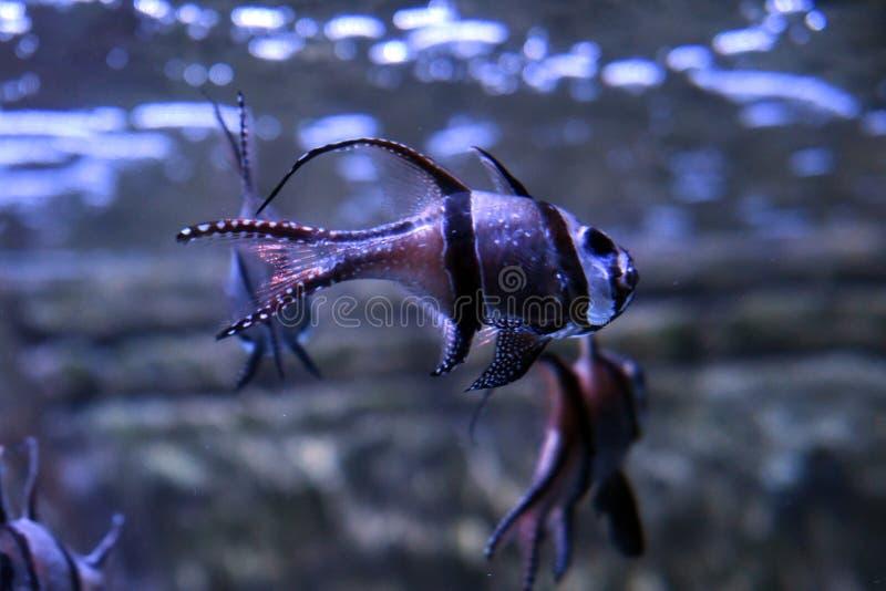 Babykardin?le Pterapogon kauderni stockfotos