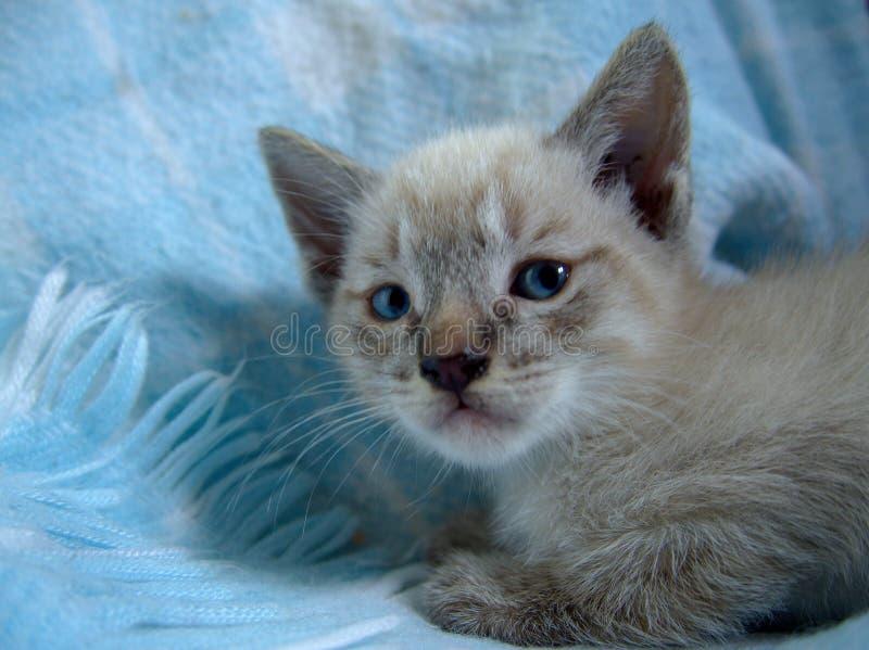 Babykat die op een blauwe deken liggen stock afbeeldingen