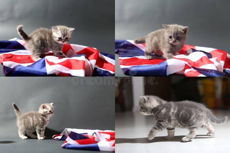 Babykatjes die op het tapijt en met de vlag van Groot-Brittannië spelen, multicam royalty-vrije stock foto