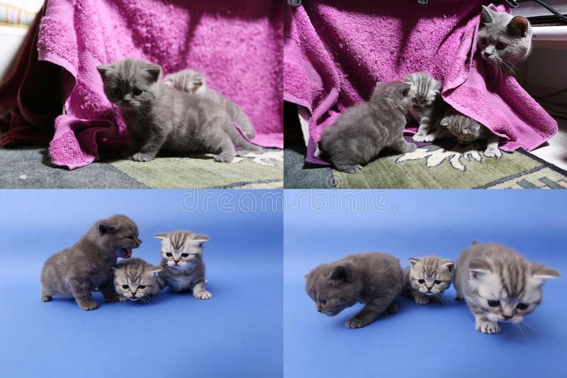 Babykatjes die op mauve achtergrond spelen, multicam stock foto