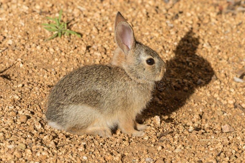 Babykatoenstaartkonijn stock afbeelding