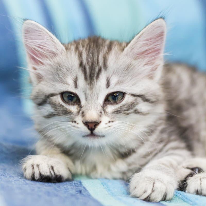 Babykatze der sibirischen Zucht, silberne Version stockbilder