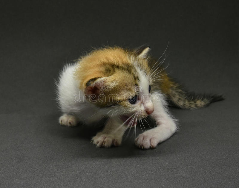 Babykatze - Kätzchen lizenzfreie stockfotos