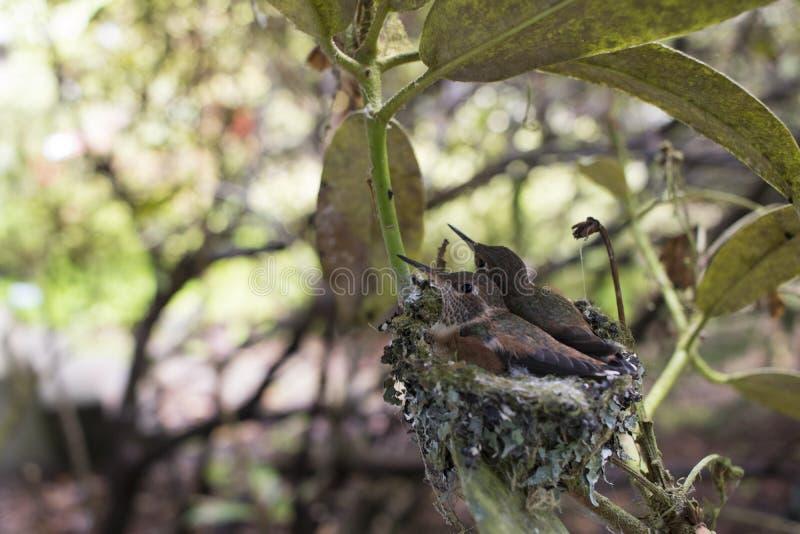 Babykolibries het Nestelen royalty-vrije stock fotografie