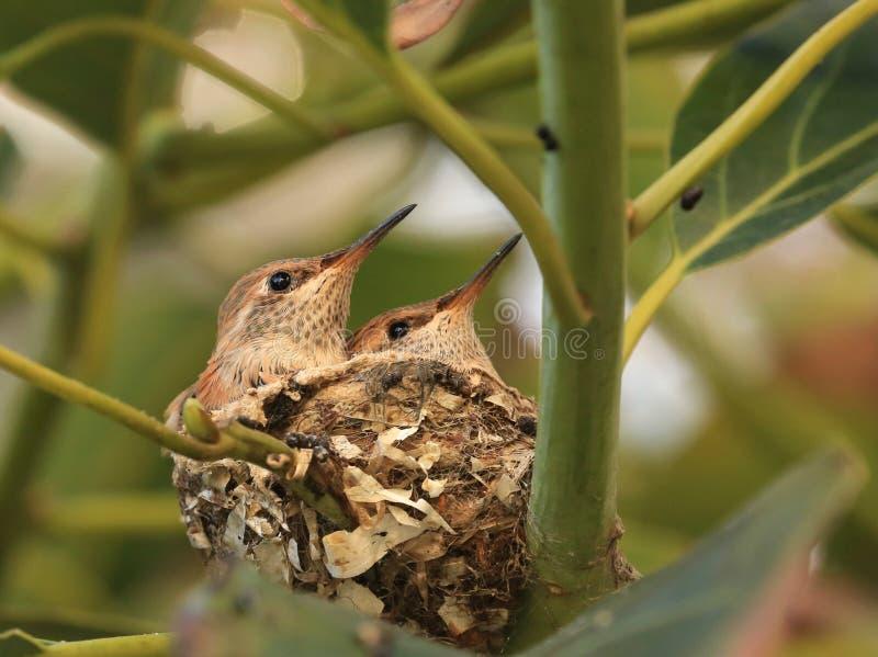 Babykolibries in nest stock afbeeldingen