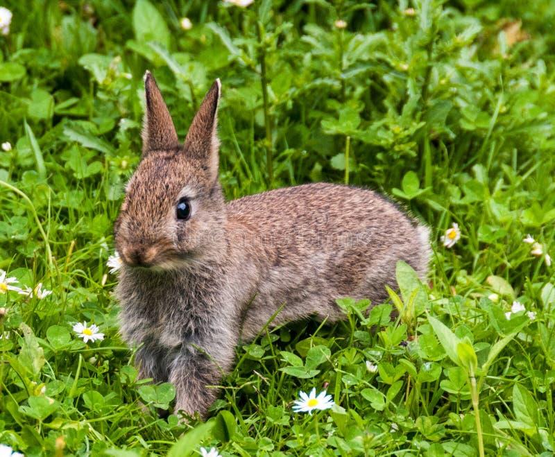 Babykonijn in een Devon-tuin royalty-vrije stock afbeelding