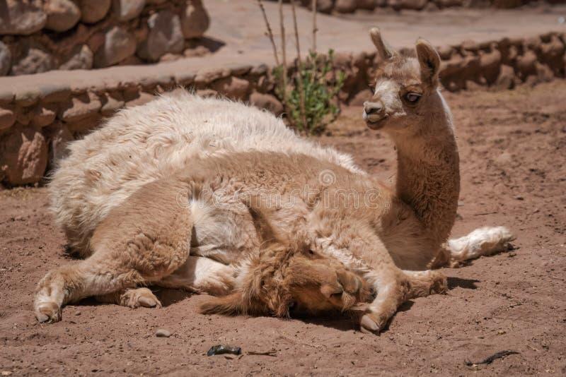 Babylama die over zijn rustende moeder liggen royalty-vrije stock foto's