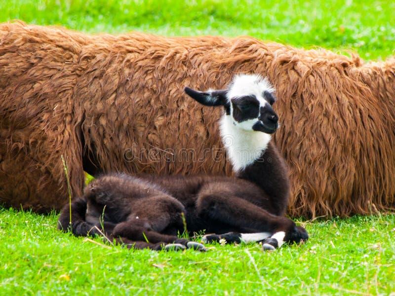 Babylama Nettes und lustiges südamerikanisches Säugetier stockbilder