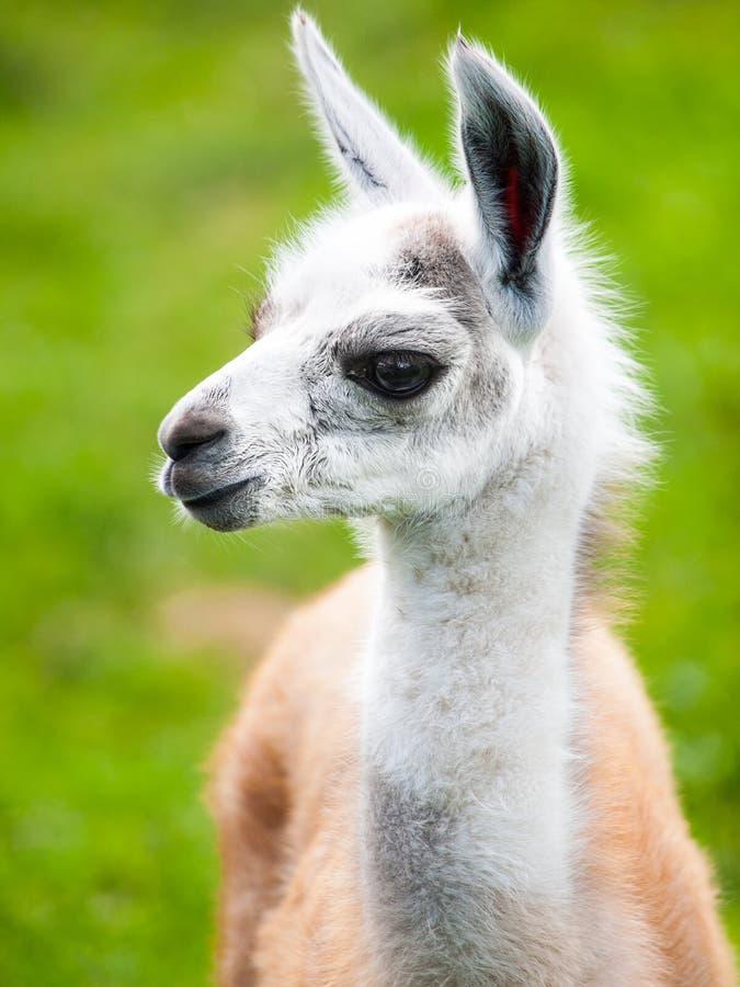 Babylamaporträt Nettes südamerikanisches Säugetier stockfoto