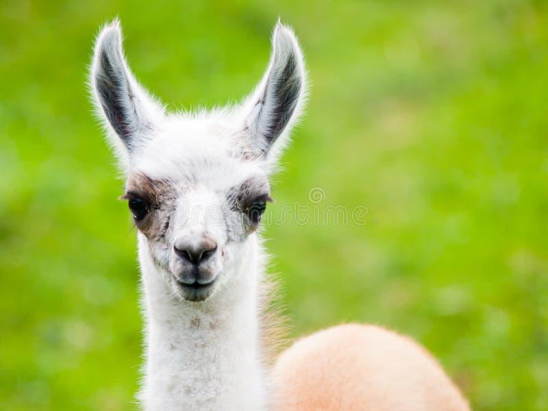 Babylamaporträt Nettes südamerikanisches Säugetier lizenzfreie stockbilder