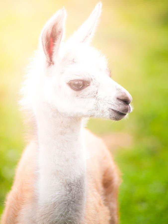 Babylamaporträt Nettes südamerikanisches Säugetier lizenzfreie stockfotografie