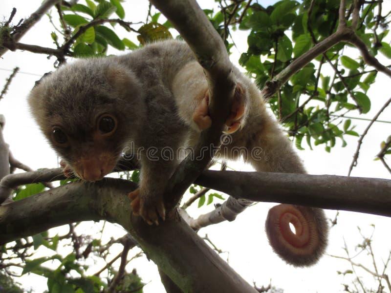 Babymannetje bevlekte cuscus stock fotografie