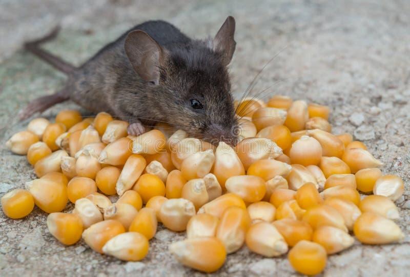 Babymuis die graan eten royalty-vrije stock afbeelding