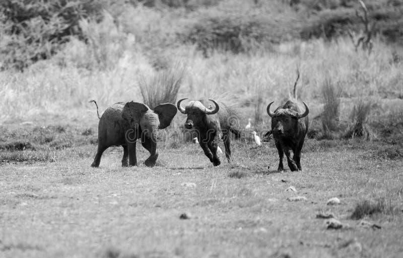 Babyolifant die Buffels achtervolgen stock foto
