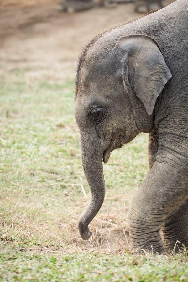Babyolifant in het Centrum van het Olifantsfokken, Sauraha, Nepal stock afbeeldingen