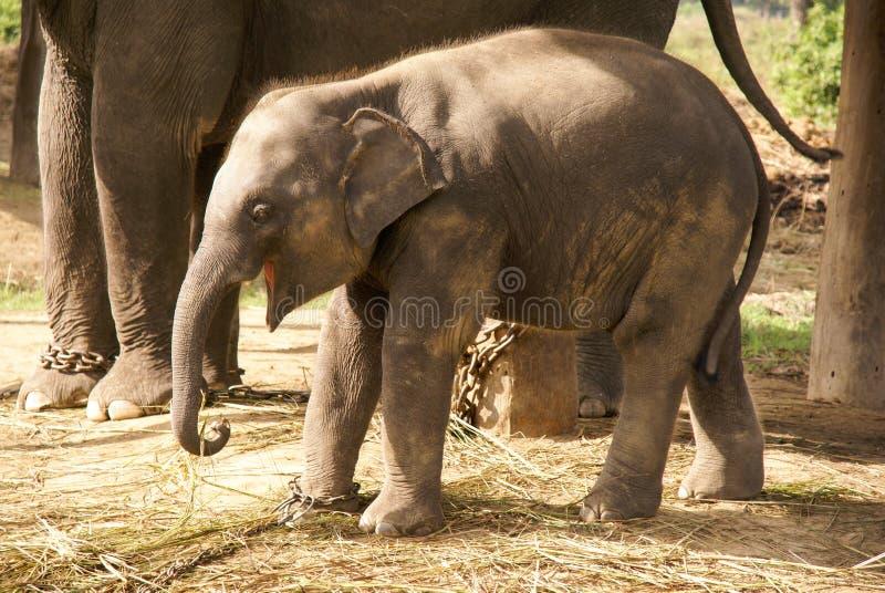 Babyolifant in kettingen stock fotografie