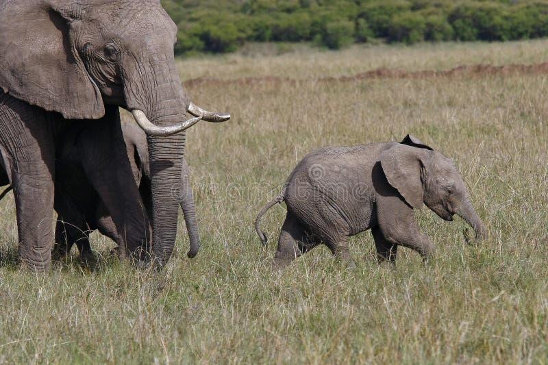 Babyolifant met zijn moederolifant die op de Afrikaanse savanne lopen stock afbeelding