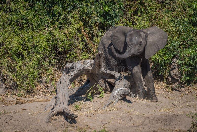 Babyolifant op logboek golvende boomstam die wordt geplakt stock foto's