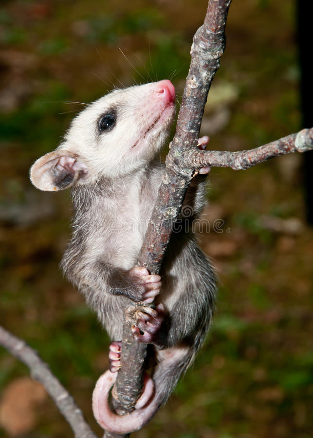 Babyopossum stock afbeelding