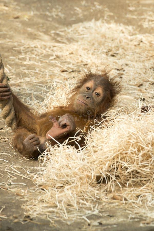 Babyorang-oetan Utan - orangutang royalty-vrije stock afbeeldingen