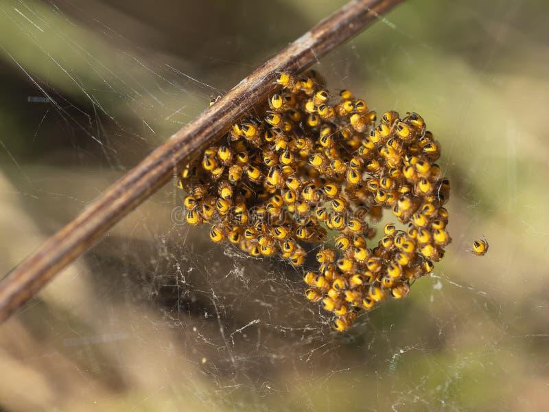 Babyorb weversspinnen, spiderlings, in nest, Geel en zwarte, macro stock afbeelding