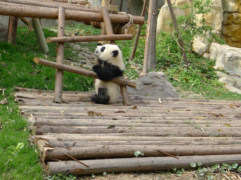 Babypanda stock afbeelding