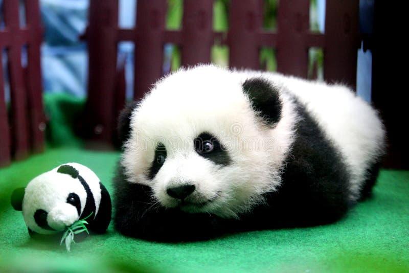 Babypanda getragen in Malaysia-Zoo stockfotografie