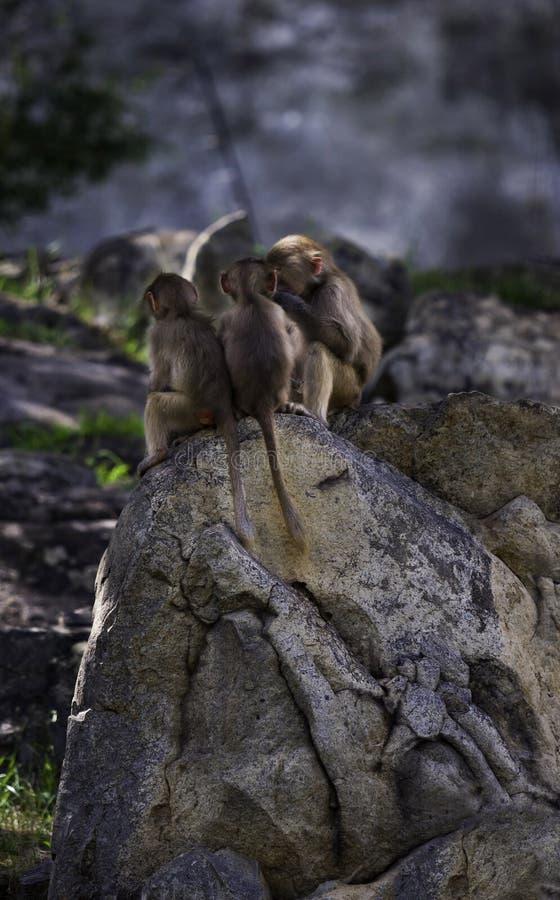 Babypaviane am NC-Zoo stockbilder