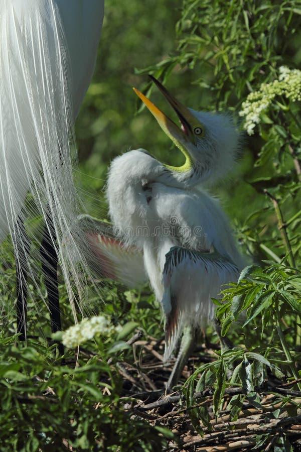 Babyreiher im Nest, wartend, in Florida eingezogen zu werden lizenzfreie stockfotografie