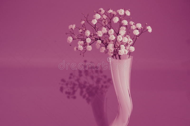 Babys breath. In front off a pink background royalty free stock image