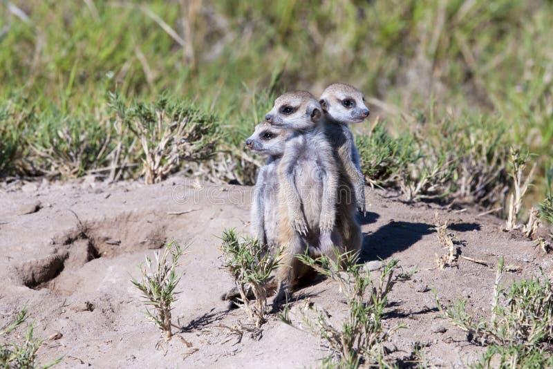 Babys de Meerkat (suricatta de Suricatta) imagenes de archivo