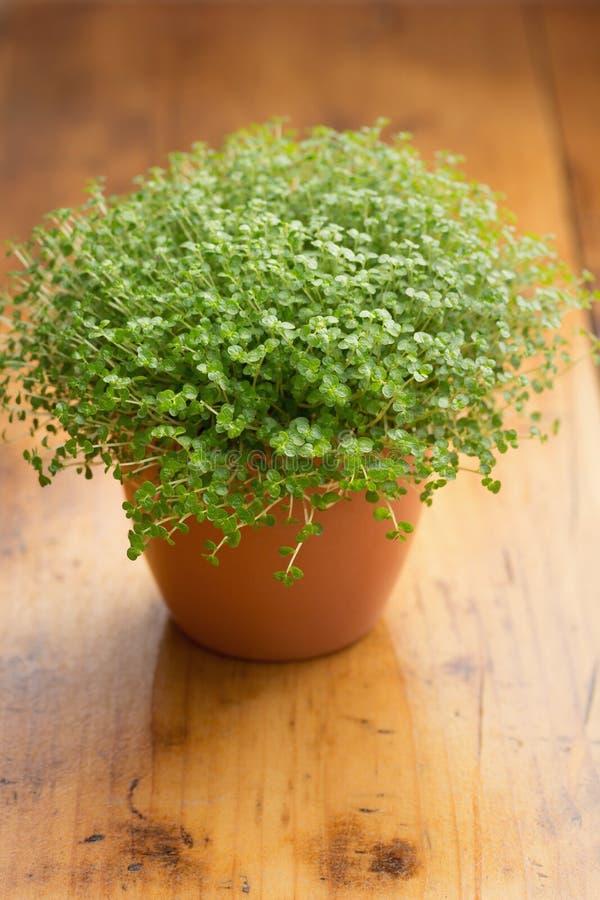 Babys växt för revor royaltyfri bild