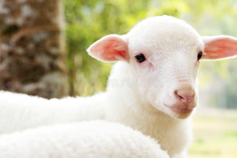 babyschapen in het landbouwbedrijf royalty-vrije stock foto