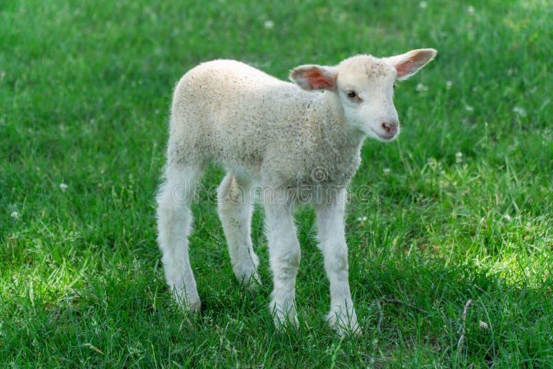 Babyschapen op landbouwbedrijf stock foto