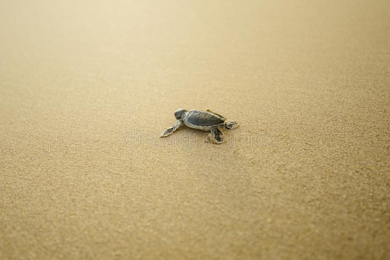Babyschildkröte, die auf den sandigen Strand geht lizenzfreie stockfotografie