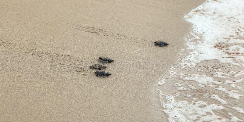 Babyschildkröten, gerade ausgebrütet von den Eiern, gehend auf den Sand, der versucht, in Meer zu kommen lizenzfreie stockbilder