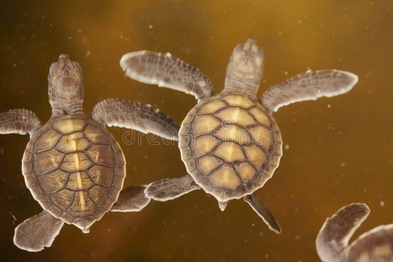 Babyschildpad stock afbeelding