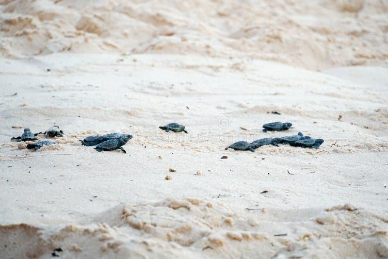 Babyschildpadden die hun eerste stappen doen aan de oceaan stock foto's