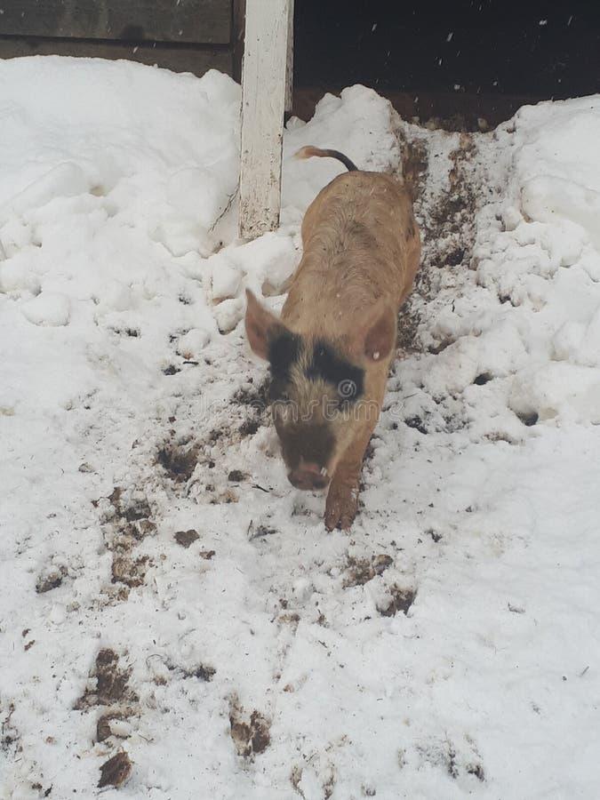 Babyschwein lizenzfreie stockfotografie