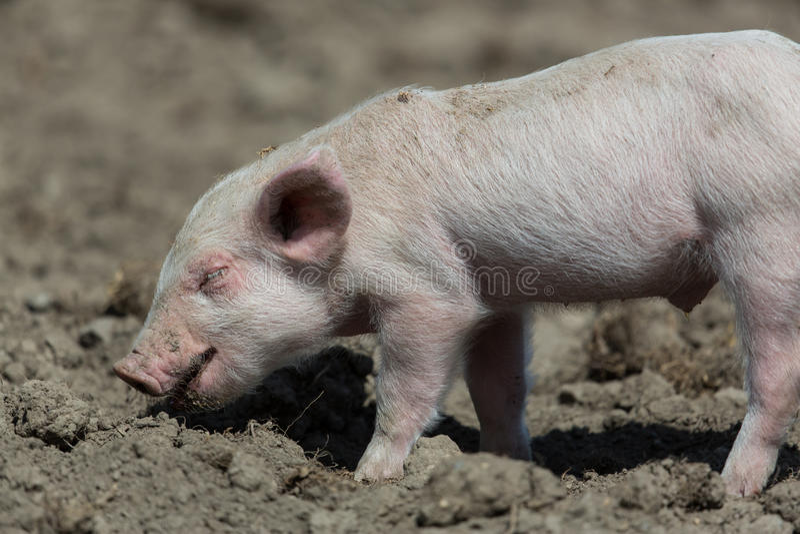 Babyschwein stockfotos