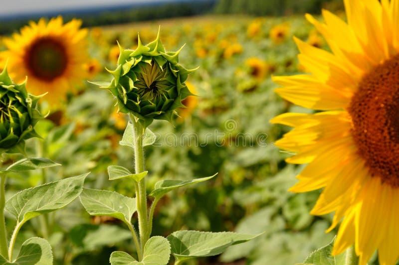 Babysonnenblume im Wald, Feld stockfoto