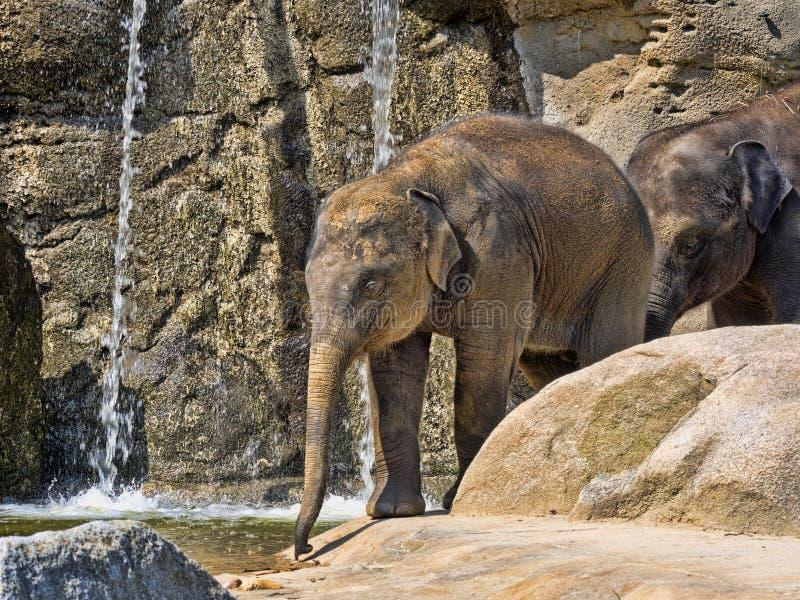 Babyspiele, asiatischer Elefant, Elephas maximus stockbild