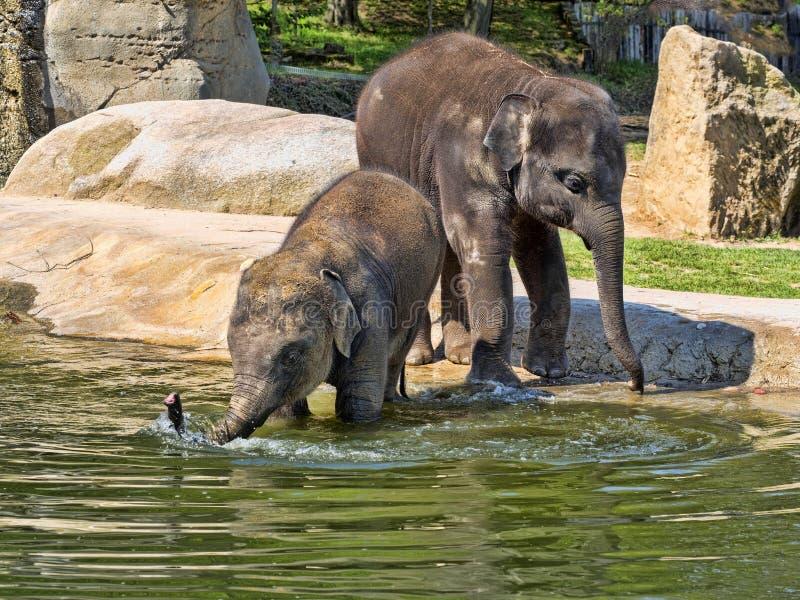 Babyspiele, asiatischer Elefant, Elephas maximus lizenzfreie stockfotos