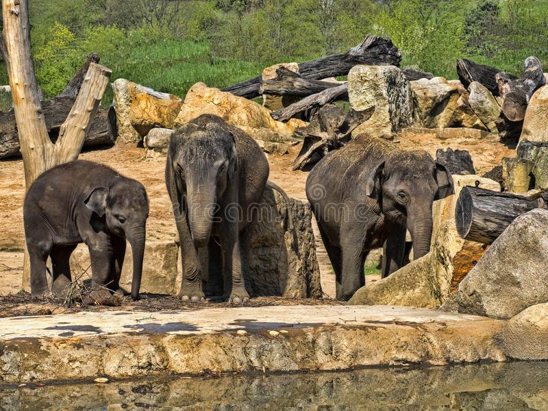 Babyspiele, asiatischer Elefant, Elephas maximus lizenzfreie stockbilder