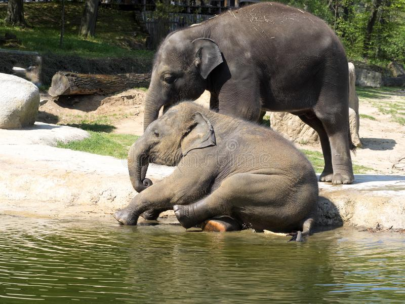 Babyspiele, asiatischer Elefant, Elephas maximus stockfotos