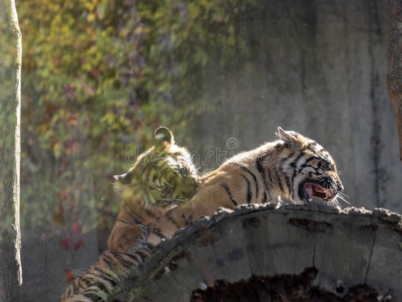 Babyspiele Sumatran-Tiger stockbild
