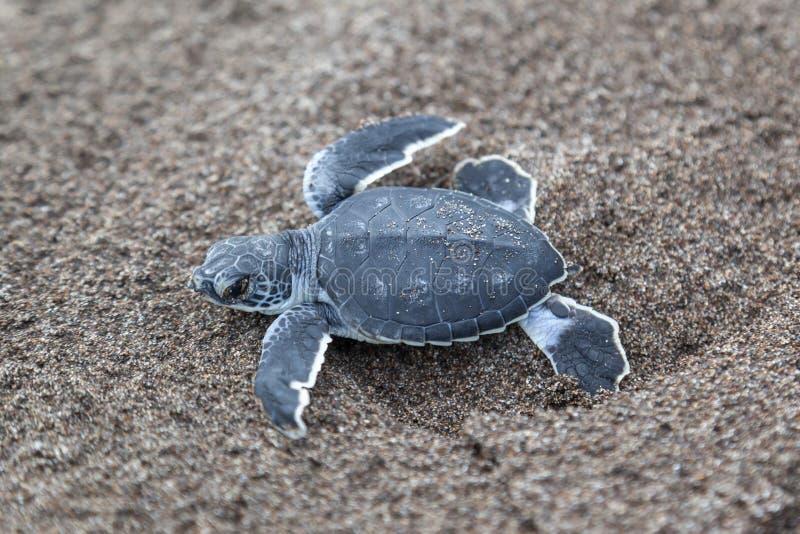 Babysuppenschildkröten auf dem Strand in Costa Rica stockbilder