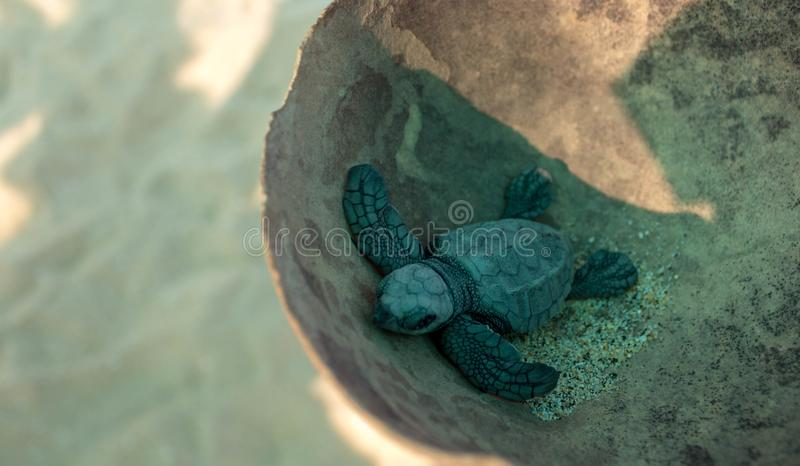 Babyturtle tortuga tortoiseshell zdjęcie stock