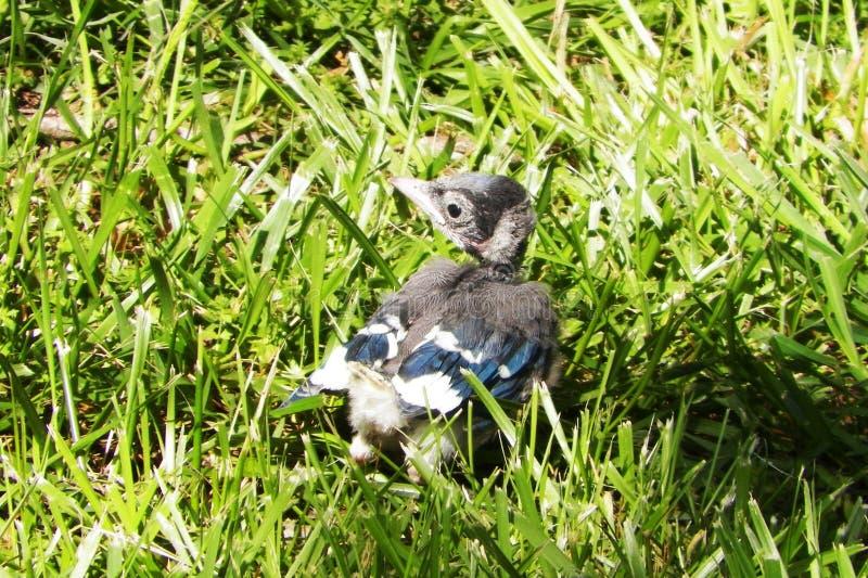 Babyvogel royalty-vrije stock afbeeldingen